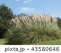 シロガネヨシとも呼ばれるパンパスグラス 43580646