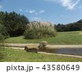 シロガネヨシとも呼ばれるパンパスグラス 43580649