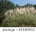 シロガネヨシとも呼ばれるパンパスグラス 43580652