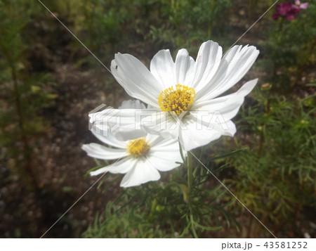 秋桜コスモスの白色の花 43581252