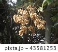 アオギリの心皮の中に種が沢山 43581253