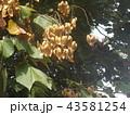 アオギリの心皮の中に種が沢山 43581254