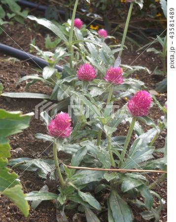 ポン咲きの桃色の花はセンニチコウ 43581489