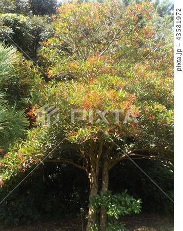 モッコクの赤い実は鳥さんたちの秋の恵み 43581972