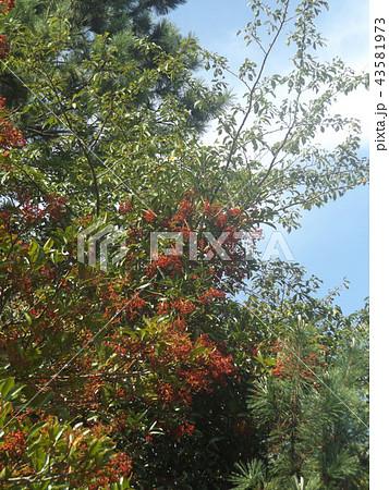 モッコクの赤い実は鳥さんたちの秋の恵み 43581973