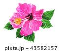 hibiscus18908pix7 43582157