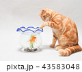 金魚を捕まえようとする仔猫 43583048