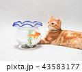 金魚を見つめる仔猫 43583177