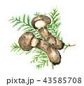松茸 水彩画 秋の味覚のイラスト 43585708