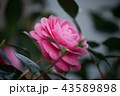 椿 花 ピンクの写真 43589898