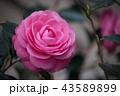 椿 花 ピンクの写真 43589899