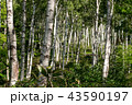 朝の白樺林 43590197