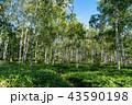 白樺林の青空 43590198