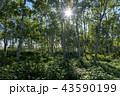 白樺林の朝日 43590199