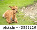 アルパカ 動物 43592126