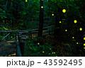 ホタル ヒメボタル 橋の写真 43592495