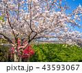 花 春 桜の写真 43593067