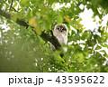エゾフクロウ 雛 鳥の写真 43595622