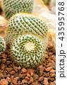 サボテン さぼてん 仙人掌の写真 43595768