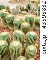 サボテン さぼてん 仙人掌の写真 43595832