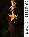 植物 秋 紅葉の写真 43596490