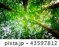 樹木 新緑 森林の写真 43597812