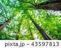 樹木 新緑 森林の写真 43597813