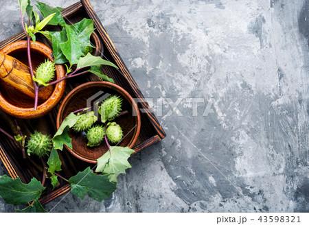 Natural herbs medicine,datura 43598321