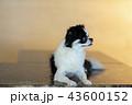 Chiwawa dog family 20 pet 43600152