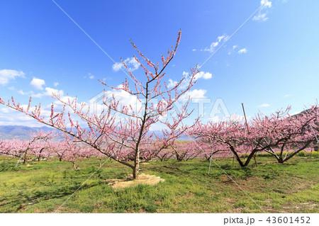 田園風景(山梨県、笛吹市、桃源郷、春編) 43601452
