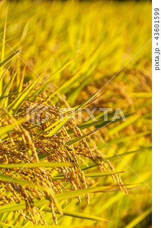 収穫時期を迎えた「みずかがみ」のクローズアップ 43601599