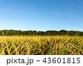 稲 米 穀物の写真 43601815