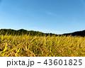 稲 米 穀物の写真 43601825