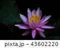睡蓮の花 43602220