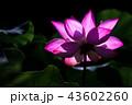 大賀ハスの花 43602260