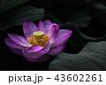 大賀ハスの花 43602261
