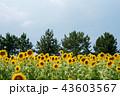 夏 夏空 向日葵の写真 43603567