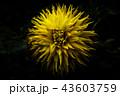 黄色いダリア(ストライクアライト) 43603759