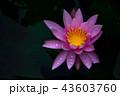 睡蓮の花 43603760
