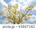 オウゴンガシワ 樹木 植物の写真 43607162
