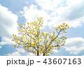 オウゴンガシワ 樹木 植物の写真 43607163