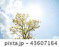 オウゴンガシワ 樹木 空の写真 43607164