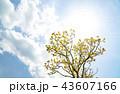 オウゴンガシワ 樹木 空の写真 43607166