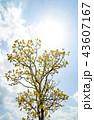 オウゴンガシワ 樹木 空の写真 43607167