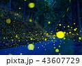 ヒメボタル ゲンジボタル ホタルの写真 43607729