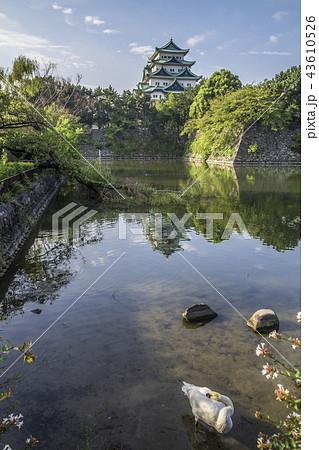 愛知県 名古屋城 お堀の白鳥 43610526