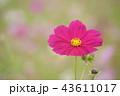 コスモス 花 ピンクの写真 43611017