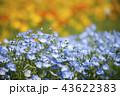 ネモフィラ 花 青色の写真 43622383