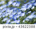 ネモフィラ 花 青色の写真 43622388