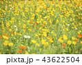 ポピー 花 花畑の写真 43622504